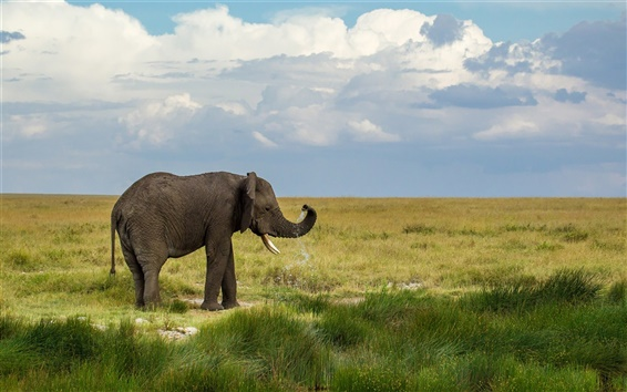 Обои Prairie, слон, трава, небо, облака
