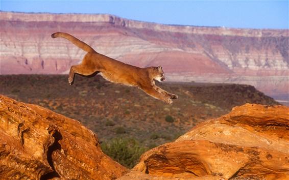 Обои Puma, Cougar, пума, прыжок