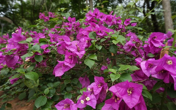 Wallpaper Purple flowers, Bougainvillea spectabilis Willd