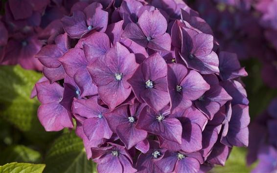 Fondos de pantalla Hortensias púrpura, inflorescencia, flores