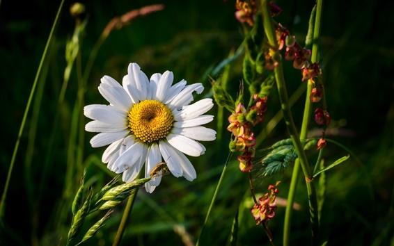 Wallpaper Summer, grass, flowers, chamomile