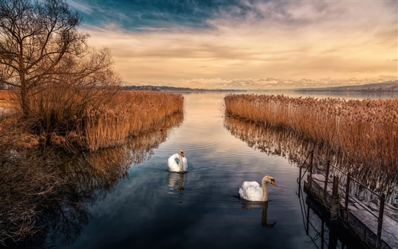 Обои Лебедь, озеро, небо, тростник, сумерки