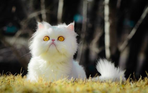 Wallpaper White furry cat, yellow eyes, grass