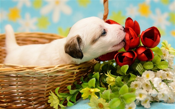 Wallpaper White puppy, basket, flowers