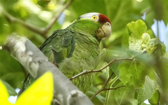 Fond d'écran Amazon oiseaux, perroquet vert