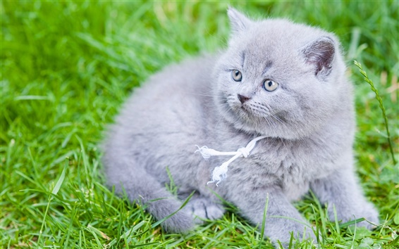 Wallpaper British Shorthair, gray kitten, grass