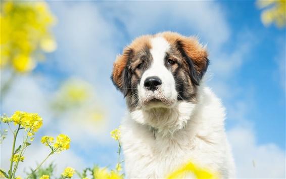 Обои Милый белый собака, вид спереди, цветы