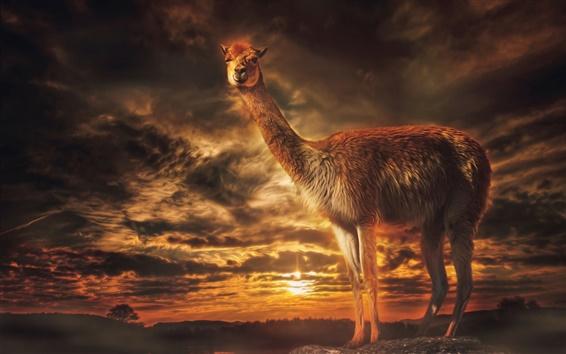 Papéis de Parede Lama, crepúsculo, por do sol, nuvens