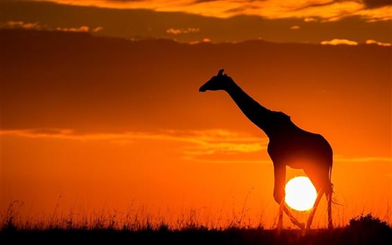 Wallpaper Sunset, giraffe, sunshine, dusk, sketch, Africa
