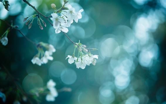 Papéis de Parede Galho de árvore, natureza, primavera, flores brancas