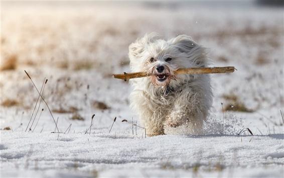 Papéis de Parede Cão branco, inverno, neve