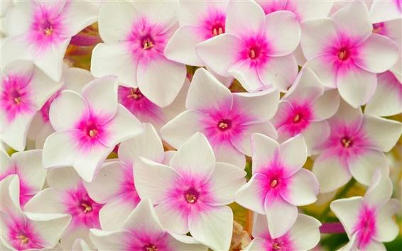 Обои Белые розовые цветы, лепестки, макро