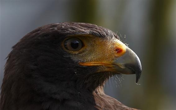 Papéis de Parede Pássaro close-up, águia