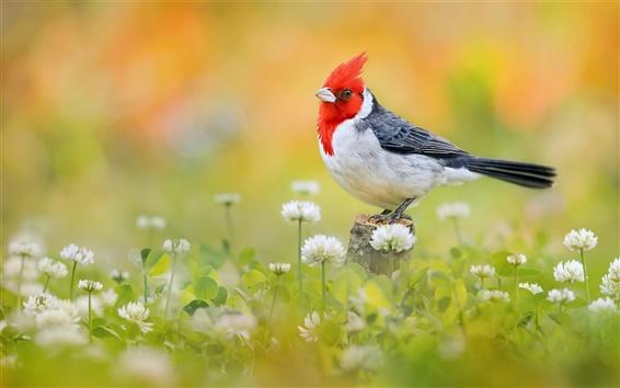 Papéis de Parede Pássaro close-up, cabeça de pena vermelho, flores