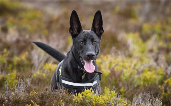 Papéis de Parede Cão preto, sheepdog