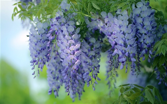 Fondos de pantalla Flores azules, glicinas