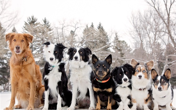 Wallpaper Border collie, Welsh Corgi, seven dogs