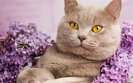 British shorthair, yellow eyes, portrait, flowers Wallpaper Preview