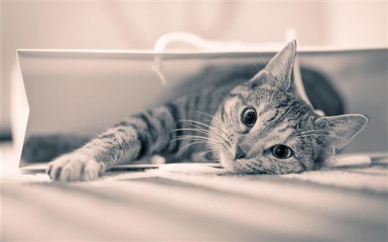 Wallpaper Cat gaze, gray