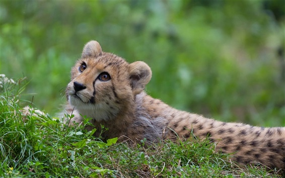 Обои Гепард, дикие кошки, хищник, трава