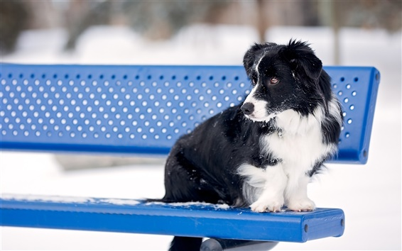Wallpaper Collie, dog, bench