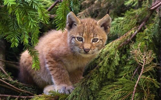 Fond d'écran Lynx mignon, forêt, chat