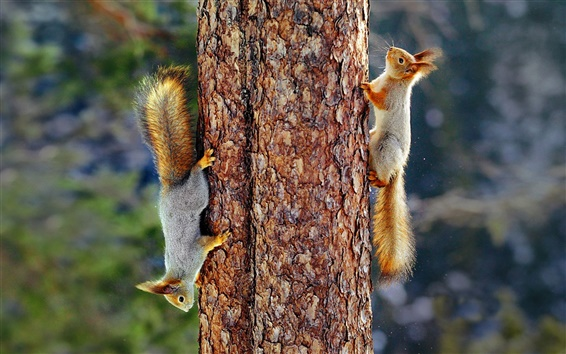 Wallpaper Eurasian red squirrel, tree, trunk, tail