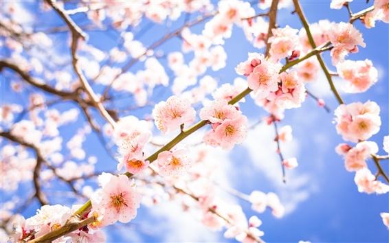 Papéis de Parede Flores, primavera, ameixa-de-rosa