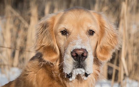 Papéis de Parede Golden retriever, cão, olhos, neve
