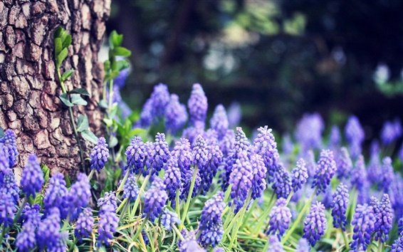 Wallpaper Grape hyacinth flowers, blue, forest, trees