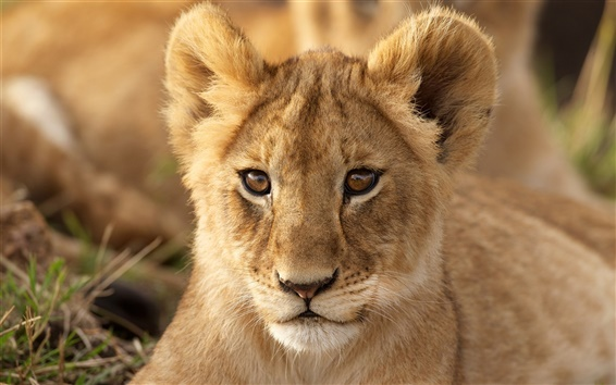 Wallpaper Lion cub, look, portrait