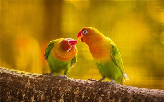 Обои Попугай, любовь, поцелуй, птицы крупным планом
