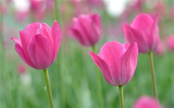 壁紙 ピンクの花、チューリップ、ボケ