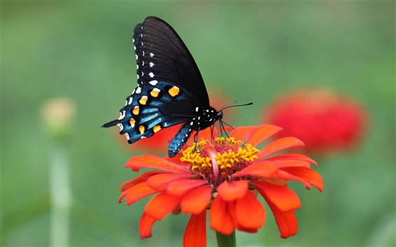 Wallpaper Red flower, petals, black wings butterfly