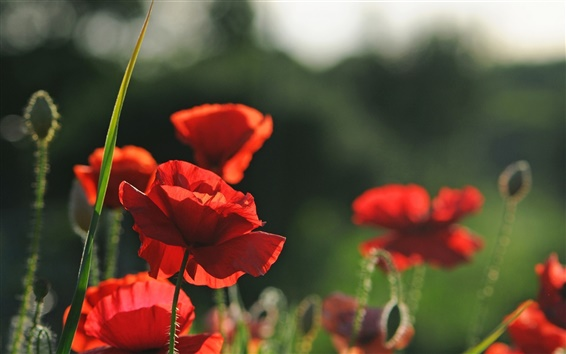 Wallpaper Red flowers, poppies, summer