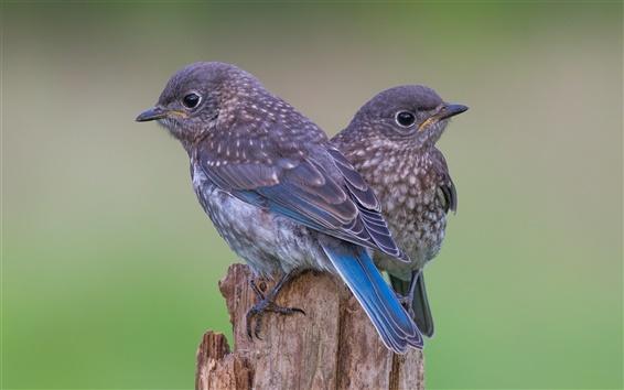 Wallpaper Stump, two birds, blue