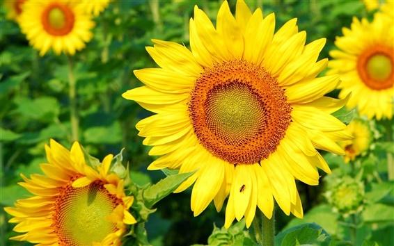 Обои Подсолнечника, лето, листья, желтые цветы