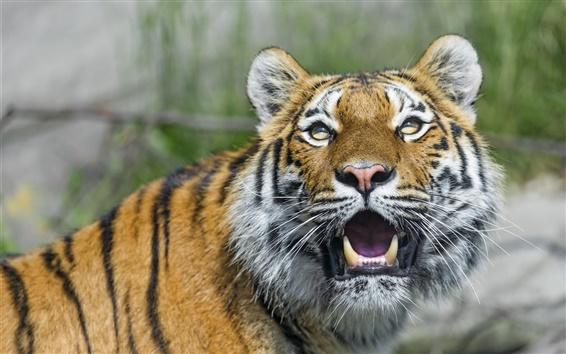 Papéis de Parede Tigre, gato grande, olhos, dentes