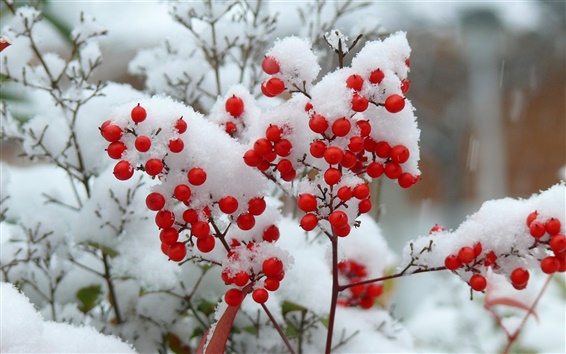 Wallpaper Twigs, snow, winter, red berries