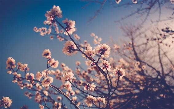 Papéis de Parede Flores brancas da ameixa, ramos, brotos, bokeh