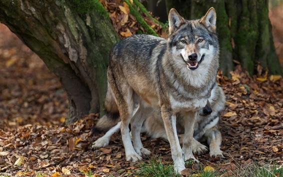 Wallpaper Wolves, predators, autumn