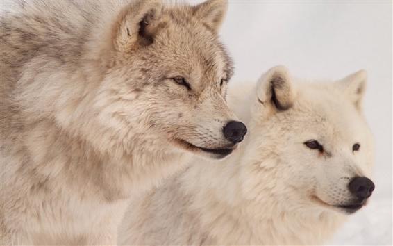 Wallpaper Wolves, predators