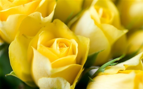 Wallpaper Yellow flowers, roses, buds, close-up photo