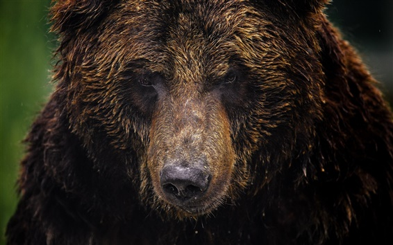 Wallpaper Animal close-up, bear, grizzly bear, face