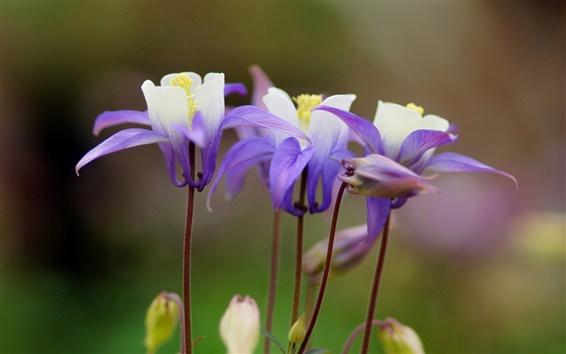 Fond d'écran Ancolie, fleurs pourpres, focus