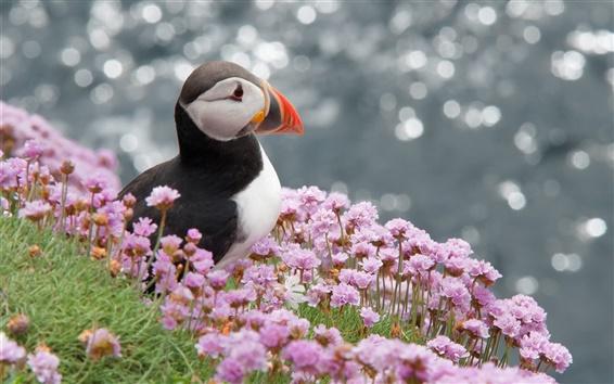 배경 화면 대서양 새, 퍼핀, 도둑 갈매기, 꽃
