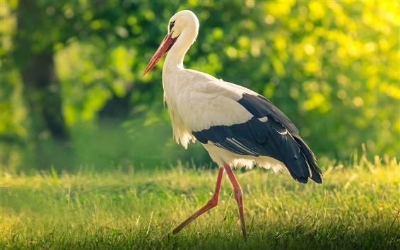 Wallpaper Bird in the grass, stork, summer