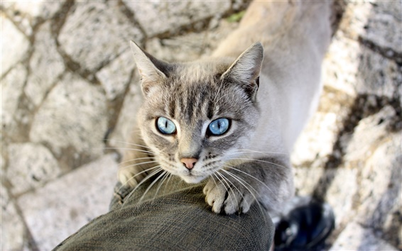 Обои Голубые глаза кошки, ноги