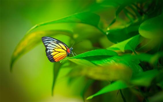 Fond d'écran Papillon, insecte, plante, feuilles vertes