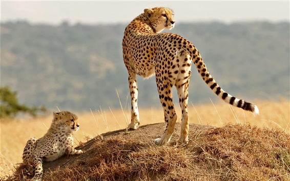 Wallpaper Cheetah, family, cub, grass, look